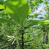 Fringe Tree (Chionanthus virginicus)