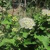 Ninebark (Physocarpus opulifolius)