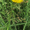 Yellow Goatsbeard (Tragopogon lamottei)