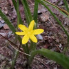 Yellow Stargrass (Hypoxis hirsuta)