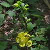 Entire-leaved False Foxglove (Aureolaria laevigata)