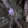 Moss Phlox (Phlox subulata)
