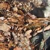 Goldenrod (Solidago spp.) seeds