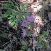 Scaly Blazing Star (Liatris squarrosa)