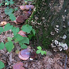 Ling Chih mushroom (Ganoderma lucidum)