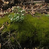 Star Chickweed (StarChickweed) in moss