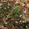 Spring Beauty (Claytonia virginica )