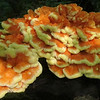 Sulphur Shelf fungus (Laetiporus sulphureus) aka Chicken of the woods