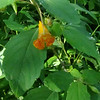 Spotted Jewelweed(Impatiens capensis)