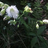 Starry Campion (Silene stellata) aka Widowsfrill