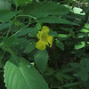 Pale Jewelweed (Impatiens pallida)