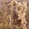 Tall Goldenrod seeds