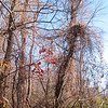 Oriental Bittersweet (Celastrus orbiculatus) invading trees