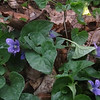 Downy Yellow (Viola pubescens) & Common Blue Violet (Viola sororia)