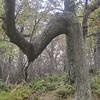 Hogback tree