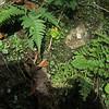 Marginal Wood Fern (Dryopteris marginalis) & Fragile Fern (Cystopteris tenuis)