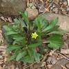 Small-flowered Crowfoot (Ranunculus abortivus)