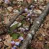 Hepatica (Hepatica nobilis) and again