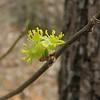 Spicebush (Lindera benzoin) male