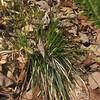 Sedge (Carex spp.)