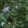 Tall Blue Lettuce (Lactuca biennis)