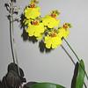 Jewel Orchid (Ludisia discolor) & Wydler's Dancing-lady Orchid (Oncidium altissimum)