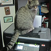 Domestic Cat (Felis catus printercus)