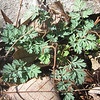 Yellow Fumewort (Corydalis flavula) leaves