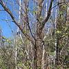 Large American Chestnut tree