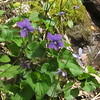 Marsh Violet (Viola cucullata)