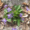 Arrowleaf Violet (Viola sagittata)