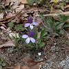 Birdfoot Violet (Viola pedata) bicolor