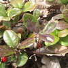 Teaberry (Gaultheria procumbens)