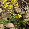 Round-leaf Ragwort (Packera obovata)