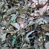 Squawroot (Conopholis americana) & Striped Wintergreen (Chimaphila maculata)