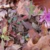 Tyrol Knapweed (Centaurea nigrescens), pretty, but and invasive alien, especially in the western U.S.