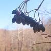 Black Haw (Viburnum prunifolium) berries over our car