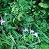 More White Iris