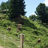 And we head up the hill to a restaurant, past the brown Swiss cows grazing peacefully.