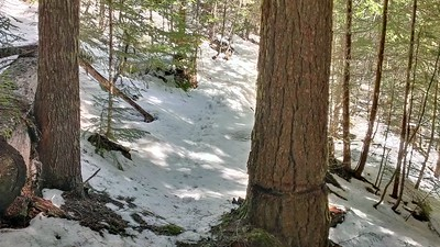 Look how much difference the clearcut makes in the snow depth.  In the trees there is almost no snow - in the old clearcut, it is over a foot deep!