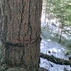 This tree was used for logging - a skyline anchor it looks like