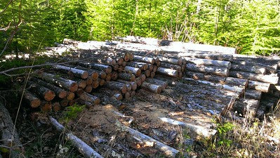 More wasted logs - someone had started cutting these at one point - there is probably 10+ cords of wood here!!!