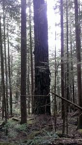 A really big tree that has gone through at least one big fire