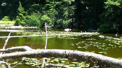 Huxley Lake Lillypads