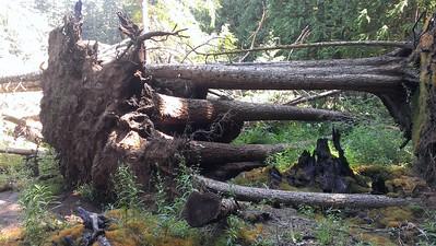 Downed trees due to campfire at Huxley Lake