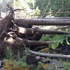 Downed trees due to campfire at Huxley Lake