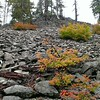 Vine Maple in this interesting rockslide