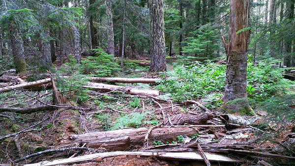 This is the view from the MP3 trail to the Rimrock trail.  You can see the Rimrock trail upper right of center - just to the right of the big tree.  This is the mess of blowdown that is hiding the tread of the MP3 trail at the junction