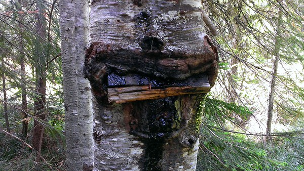 """Not sure what this sign says, but I think it might say CAMP.  The tree has eaten the sign - I'm wondering if it is """"Bob's Buck Camp""""?"""