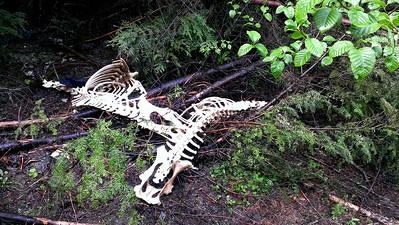 Two elk skeletons we found along the road
